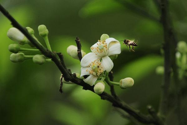 ảnh con ong đang đậu trên cánh hoa bưởi