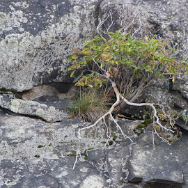A tree grows in the mountain by Janet Smothers - Nature Up Close Trees & Bushes (  )