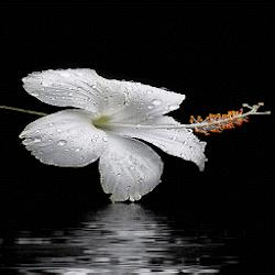 Dewy White Flower LWP