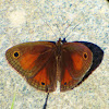 Red Satyr butterfly