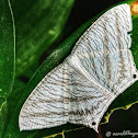 Asian Spotted Swallow Tail Moth