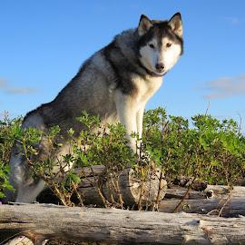 Ronja posing by Bjarklind Þór - Animals - Dogs Portraits