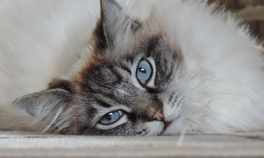 Ragdoll by Jan French - Animals - Cats Portraits