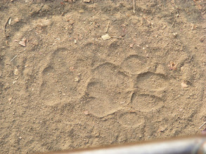Photo: pug mark of a tiger