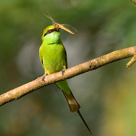 Green Bee Eater by Manoj Kulkarni - Animals Birds ( green, bee, nature, background, bird, eater, greenbeeeater, branch, wildlife )