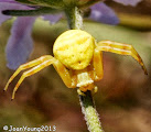 Photo: Crab Spider - Synema Sp