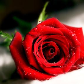 Valentine's Rose by Anastasiya Manuilov - Flowers Single Flower ( macro, rose )