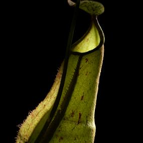 Nephentes by Sudarmanto Edris - Nature Up Close Other plants ( plant, predator, nature, nephentes, borneo )