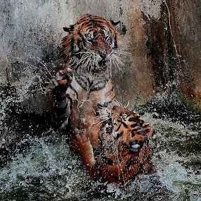 Maung Geulut by Ari Rahmadani - Animals Lions, Tigers & Big Cats