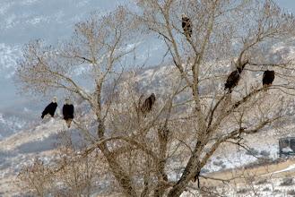 Photo: Yep, that's seven bald eagles on one tree!