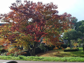 Photo: Zelkova serrata (Japanse zelkova), Mookhoek