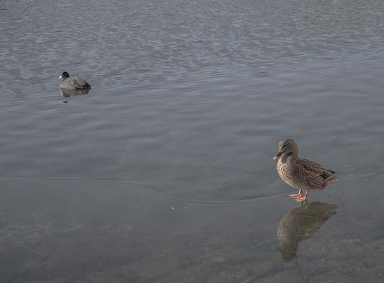 Duck on ice di alessio_birreci