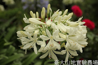 Photo: 拍攝地點: 梅峰-溫帶花卉區 拍攝植物: 百子蓮 拍攝日期:2012_07_18_FY