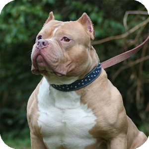 Pitbull Dog Wallpaper 2.6 Apk