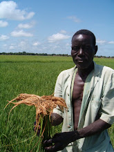 Photo: Bourema, a Burkina Faso farmer, shows roots from his SRI rice field in 2007