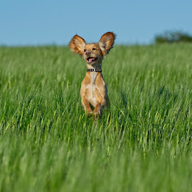 Spaniel playing in the high grass by Will Badman - Animals - Dogs Playing ( #spaniel #puppy #playing #grass #ears #dog #playfull #jump )