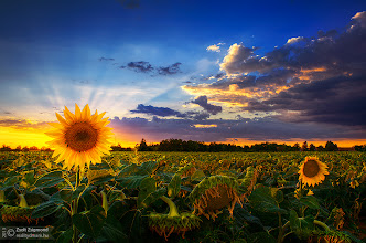 Photo: The last of us  http://realitydream.hu  #hdr #sky #sunflowers