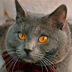 by Serge Ostrogradsky - Animals - Cats Portraits (  )