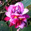 Kudzu (blossom)