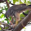 Collared Sparrowhawk (Juvenile)