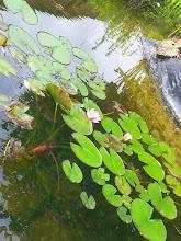 Photo: Dans le jardin d'eau, le plus délicat c'est de planter les nénuphars.