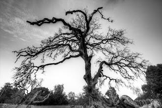 Photo: Oak Tree @ Rancho San Antonio County Park, Cupertino, CA - http://photo.leptians.net/#Oak_Tree.jpg