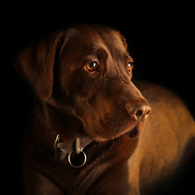 Browney Redding - Noble Stoic 2 by Doug Redding - Animals - Dogs Portraits ( douglas redding, animalia, clean background, cute, labrador, young, portrait, canine, animal portrait, resting, animal kingdom, nature, pet, mamal, zoology, laying, chocolate labrador, rest, dog, companion dog, animal, artificial light )