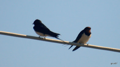 Photo: Деревенская ласточка, Barn Swallow, (Hirundo rustica Linnaeus), Миссолонги