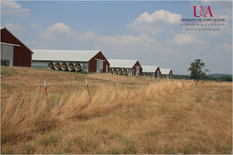 Photo: View of poultry houses (7-21-11)