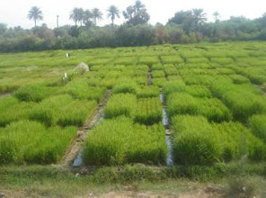 Photo: Trials at the Al-Mishkhab Rice Research Station, 2010 [Photo provided by  Khidir A. Hammed]