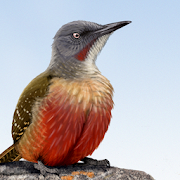 App Icon for Sasol eBirds Southern Africa App in Czech Republic Google Play Store
