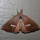 Large Necklace Moth