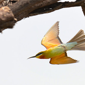 Green Bee Eater in Flight by Nirmal Neelakandan - Animals Birds ( bird, flight, green bee eater, wildlife )