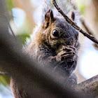 Deppe's Squirrel