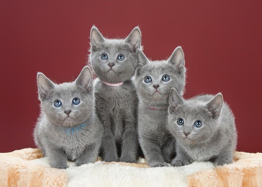 Kittens in studio photo by Janis Vecbralis - Animals - Cats Kittens ( www.sbart.lv, liepaja, latvia, happy-song, cutest cats )
