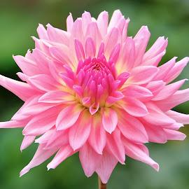 Pink Dahlia #9 by Jim Downey - Flowers Single Flower ( pink, green, dahlia, yellow, petals )