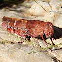 Wheeler's Blue-Winged Grasshopper