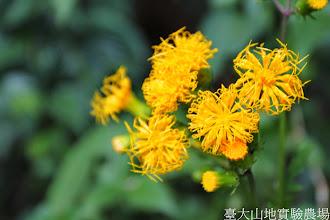 Photo: 拍攝地點: 梅峰-教展中心旁 拍攝植物: 黃花三七 拍攝日期: 2014_09_27_FY