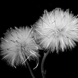 Wild  by Asif Bora - Black & White Flowers & Plants