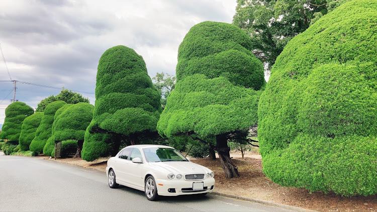 Xタイプ セダン の結婚式へ,面白い木,愛車と風景,幸せな時間,福岡に関するカスタム&メンテナンスの投稿画像2枚目