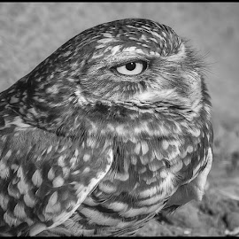 Burrowing Owl by Dave Lipchen - Black & White Animals ( burrowing owl, black and white )