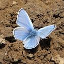 Silvery blue (male)
