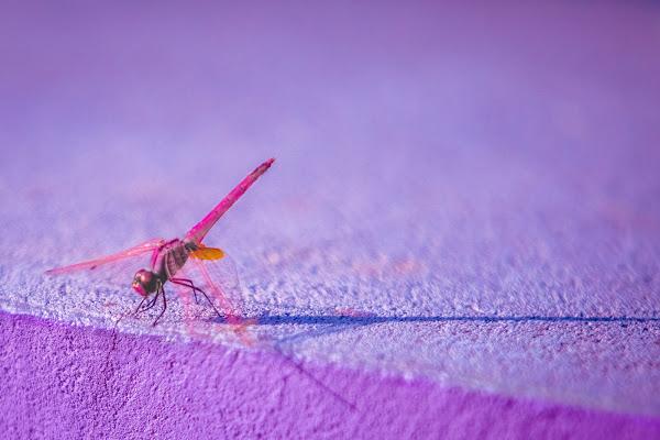 dragonfly di simona cancelli