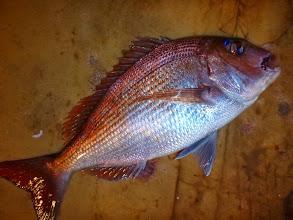 Photo: 真鯛キャッチは戸田さん! さすがに上手いですね!