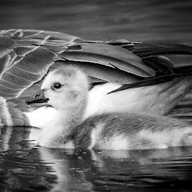 Canada Goose Gosling by Debbie Quick - Black & White Animals ( canada goose, debbie quick, nature, goose, debs creative images, new york, water, gosling, outdoors, creek, new paltz, bird, animal, black and white, wild, hudson valley, wildlife )