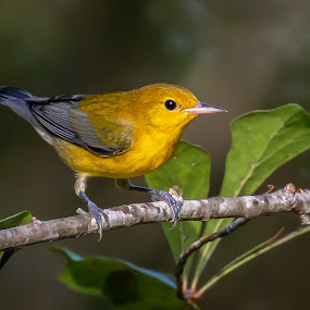 Prothonotary Warbler by Don Young - Animals Birds ( prothonotary warbler, nature, bird photography, birds, warbler,  )