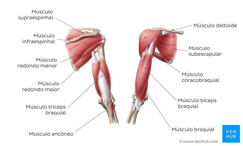 Diagrama dos músculos do braço. (Fonte: Ken Hub / Reprodução)