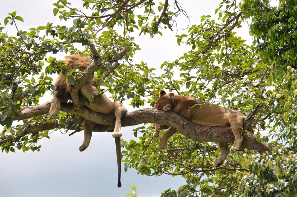 Image result for tree climbing lions