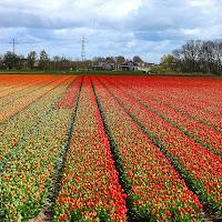 Tulips di