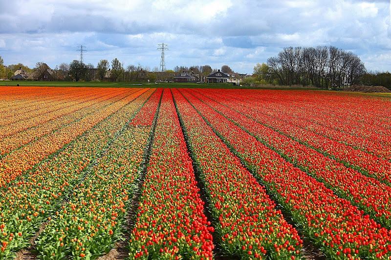 Tulips di Lela69